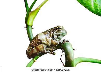 Milk frog isolated on white