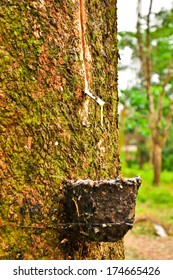 milk of rubber tree flows into a bowl,Thailand