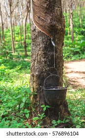 Milk of rubber tree into a wooden bowl at plantations, Krabi Province, Thailand