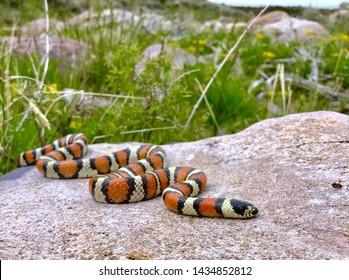 A Milk Snake, Coral Snake Mimic, in habitat