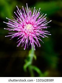 Milk Thistle Flower