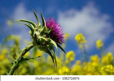 Milk thistle flower in foreground with blurred background of wildflowers and sky