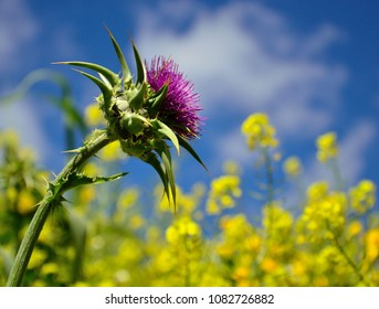 Milk thistle flower in full splendor with yellow wildflowers and blue sky in background