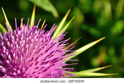 Milk thistle flower in full splendor, Silybum marianum