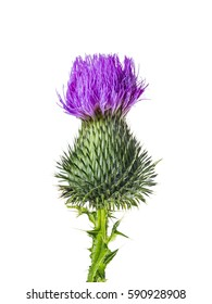 Milk Thistle Flower Head Isolated on White