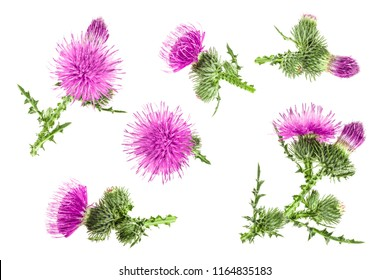 milk thistle flower isolated on white background. Top view. Flat lay pattern