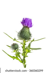 Milk Thistle Flower Isolated on White Background