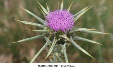 Milk Thistle flower (Silybum marianum or Carduus marianus) blooming in the field. Pruple milk thistle with green background at the botanical garden.
