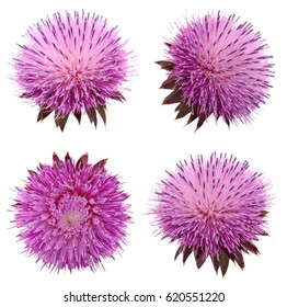 Milk Thistle flower (Silybum marianum) isolated