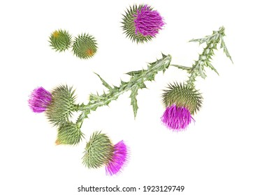 Milk Thistle flowers isolated on a white background, top view. Silybum marianum.