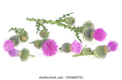 Milk thistle flowers isolated on a white background. Flat lay pattern.