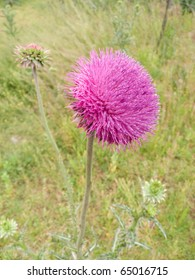 A Milk Thistle in full bloom. Scientific name: Carduus nutans