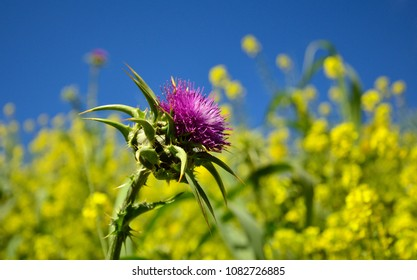 Milk thistle in full bloom with unfocused  background of blue sky and yellow flowers