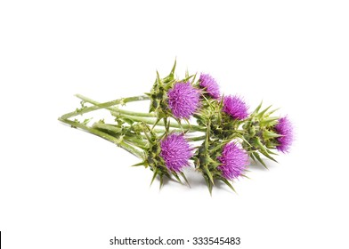 Milk Thistle isolated on white