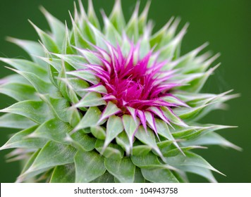 milk thistle macro very shallow depth of field beautiful purple