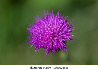 Milk thistle on a green meadow