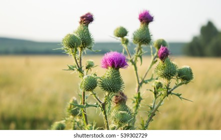 Milk Thistle plant herbal remedy. thistle, Blessed milk,