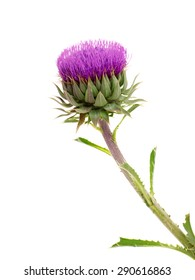 Milk Thistle plant( Silybum marianum ) herbal remedy . Common names include Scotch thistle, cardus marianus, blessed milk thistle, Marian Thistle, Mary Thistle, Saint Mary's Thistle, Mediterranean