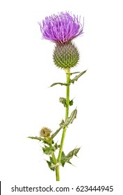 Milk Thistle plant (Silybum marianum) herbal remedy. Scotch thistle, Cardus marianus, Saint Mary's Thistle.