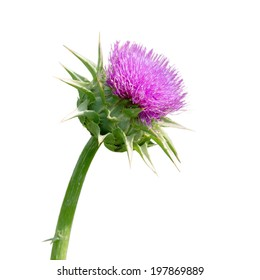 Milk thistle , Silybum marianum, has been used for centuries as an herbal medicine for the treatment of liver disease.