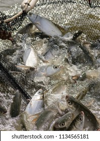 Milkfish in fish farm industry of Thailand