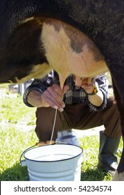 Milking of a cow