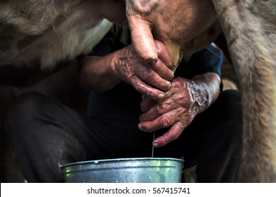 Milking of a cow by hand. Authentic mountain barn cowshed with milking cows used by shepherds during the summer season for grazing cows.