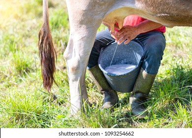 Milking a cow manually. alpine cow of northern italy brown breed.