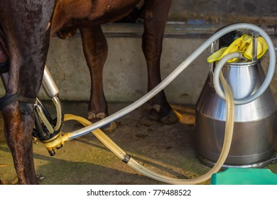 milking cow with semi-automatic milking machine.