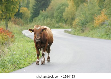Milking cow walking along a road alone