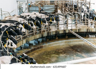Milking cows special agriculture farming equipment on dairy farm. Livestock husbandry and Production of dairy products concept