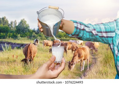 Milkmaid pours milk from a bucket on the background of grazing cows.