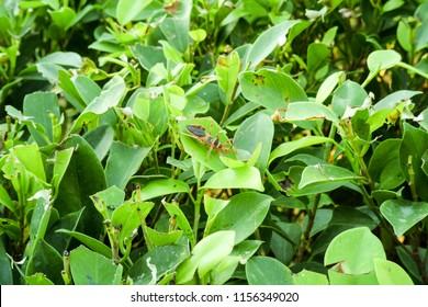 Milkweed assasin bug found on the leave in Setia Alam,Malaysia.