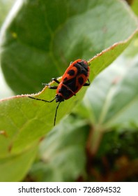 Milkweed beetle bug on a leaf