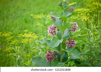Milkweed blossoms appear in a meadow with other yellow blossoms.
