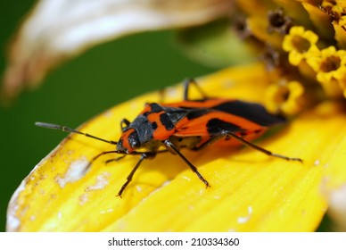 Milkweed Bug Poses for Camera at Pope Farm Conservancy in Verona Wisconsin