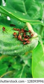 Milkweed Bugs flocking on a Calotropis gigantea seed pod. South America, Guyana