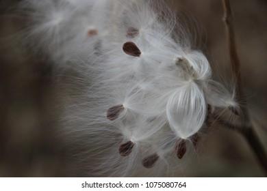 Milkweed Bursting with Seeds