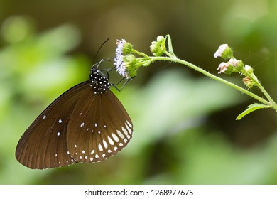 Milkweed butterfly in brown with white spots feeding on flower with blurred background (Euploea)