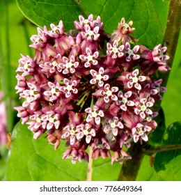 Milkweed flower (Asclepias syriaca) in Darlington Provincial Park on the northern shore of Lake Ontario, Canada, July 4, 2015