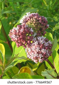 Milkweed flowers (Asclepias syriaca) in Darlington Provincial Park on the northern shore of Lake Ontario, Canada, July 4, 2015