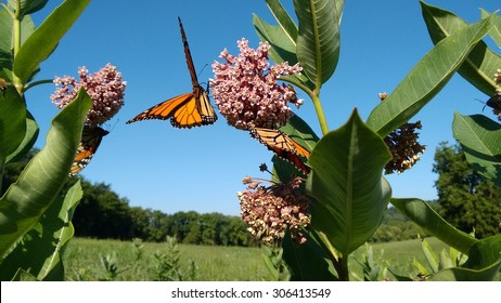 Milkweed and Monarchs in countryside