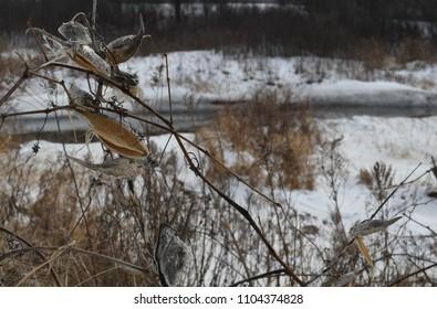 Milkweed pods in winter. Open pods on bare stalk. Stream in background.