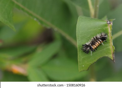 Milkweed Tussock Moth Caterpillar  on a Milkweed Leaf in Summer