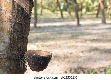 Milky latex extracted from rubber tree (Hevea Brasiliensis) as a source of natural rubber