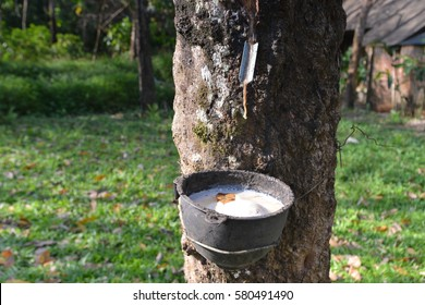 Milky latex extracted from rubber tree close up