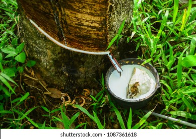 Milky latex extracted from rubber trees plantation as a source of natural rubber