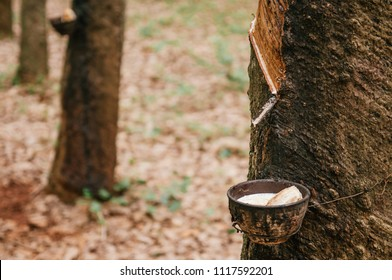 Milky latex fluid in wooden bowl drop from Para rubber tree in southern Thailand.