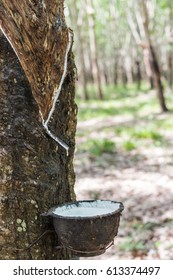 Milky latex of rubber tree into a wooden bowl.