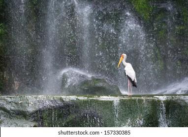 Milky stork bird in a lake in front of a waterfall (Mycteria cinerea).